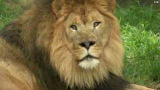 Video: Woman jumps zoo fence to feed, sing to lions