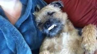 Funny Border Terrier