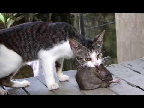 Fight!!! Cat vs Huge Rat