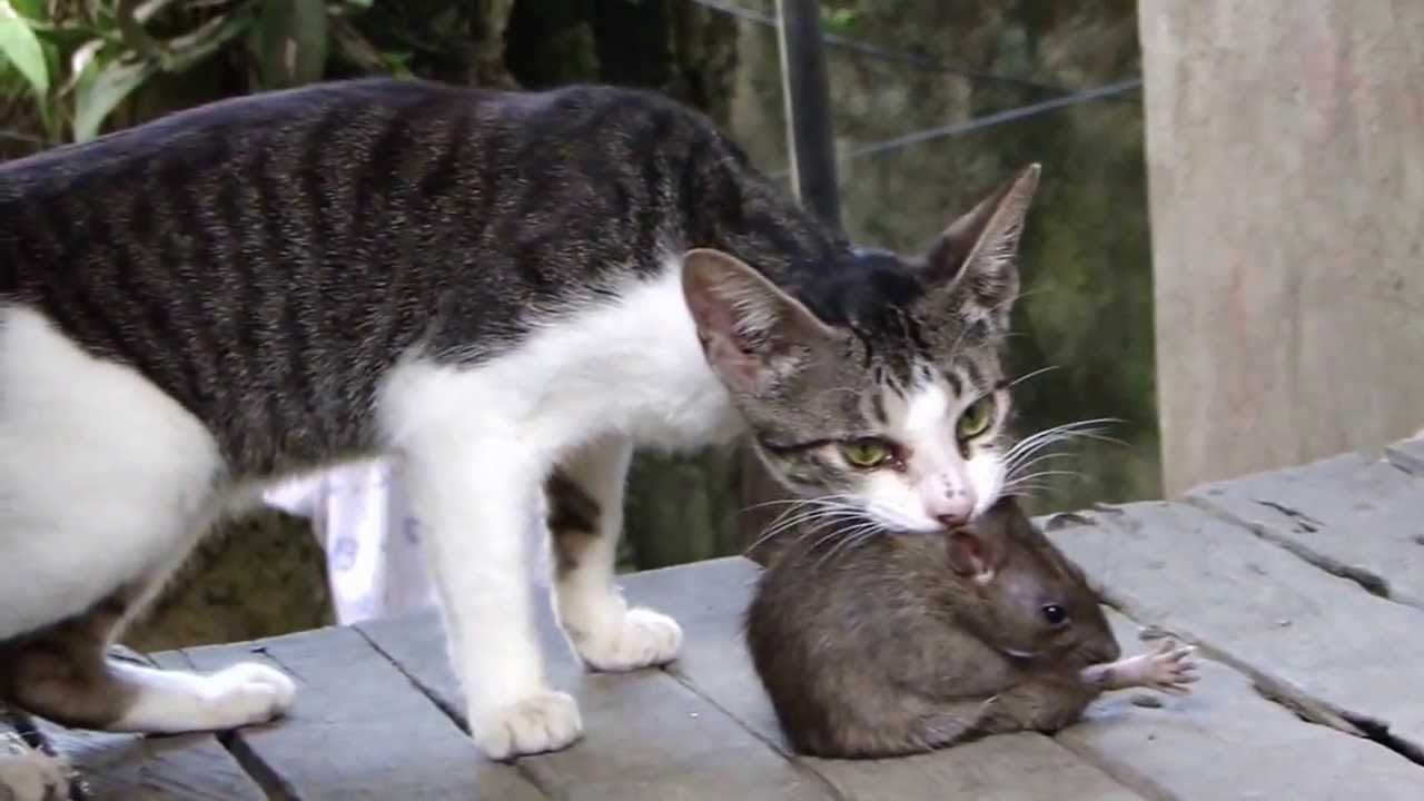 fight cat vs huge rat youtube