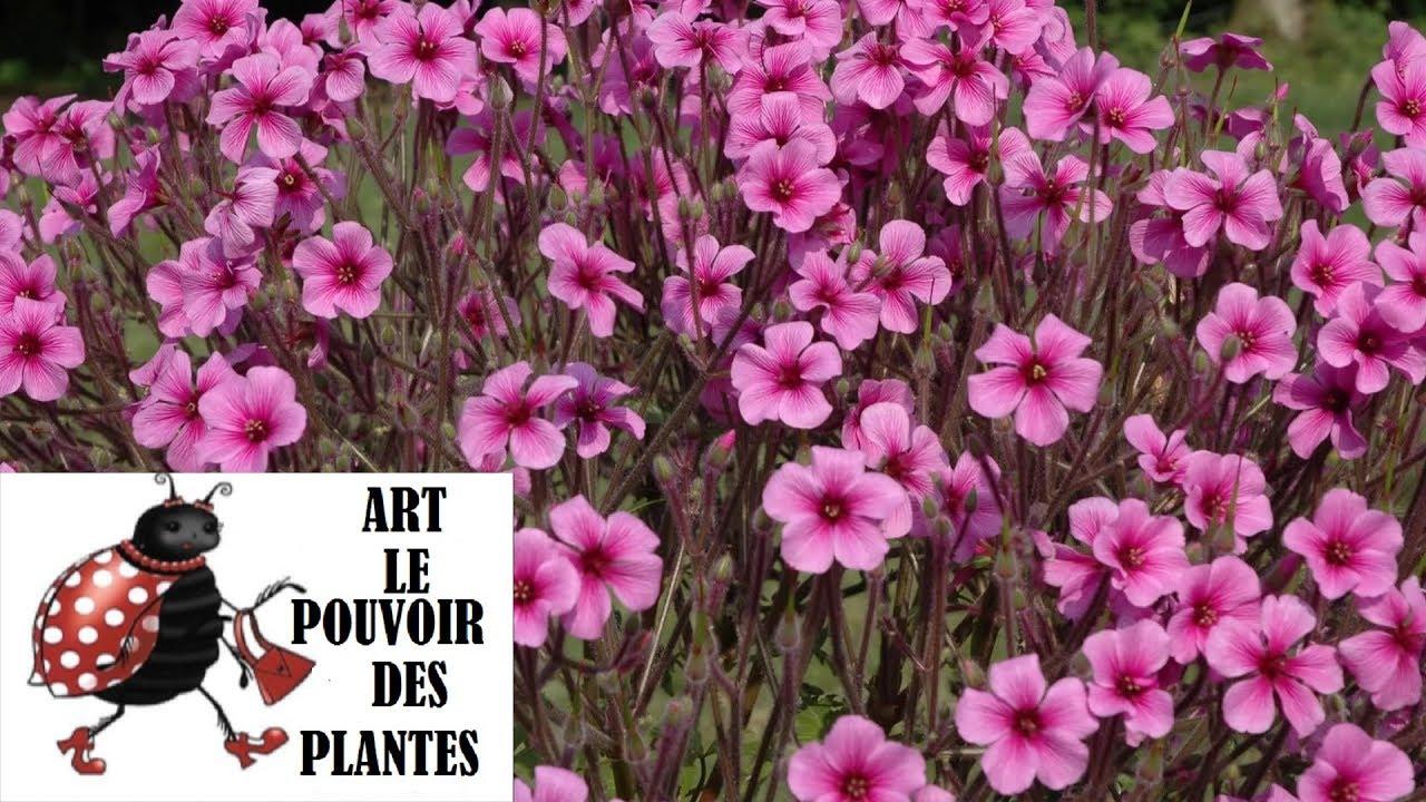 Tuto jardin: Géranium de Madère vivace Méditerranéenne:photos de fleurs et de plantes vivaces ...