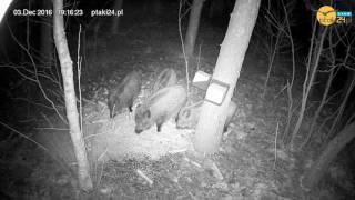 Dziki w karmisku dla zwierząt w lesie na Podkarpaciu