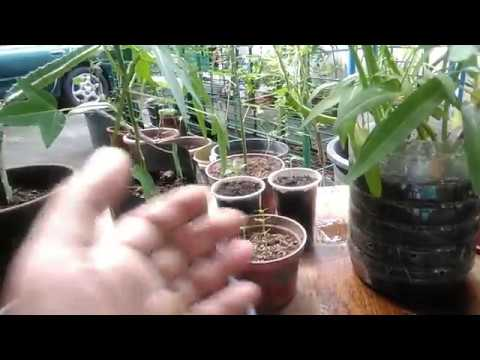 Paano Diligan ang Halaman sa Paso (How to Water Plants in Container) - with English subtitle.