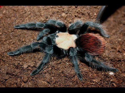 Brachypelma Albiceps, Has Moulted, With Time Lapse Flip Over.