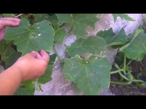 Como cultivar zapallo anco en casa youtube for Como cultivar peces en casa