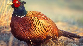اطلااق الفزن البري Ringneck Pheasant
