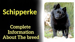 Schipperke. Pros and Cons, Price, How to choose, Facts, Care, History