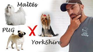 Maltês, Yorkshire ou PUG? Veja as principais diferenças antes de adquirir o seu.