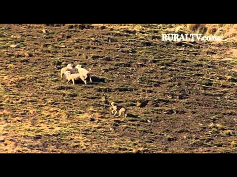 2012 NZ Dog Trials - Zig Zag Hunt - Kerry Kilminster & Pulse
