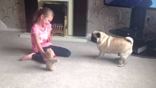 When pugs attack!!