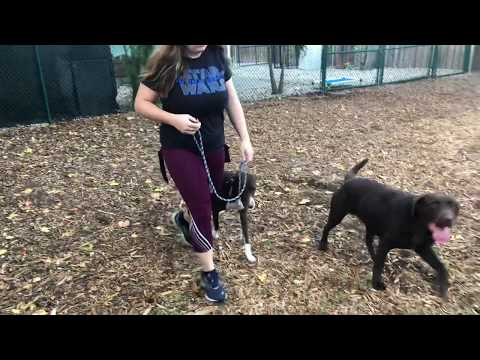 Maui | Pointer Mix | Working on Obedience