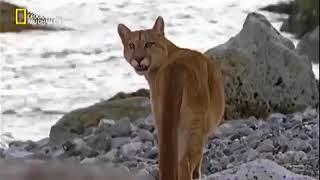 أسد الجبل / وثائقي رائع جدا يستحق المشاهده/عالم الحيوانات المفترسة HD