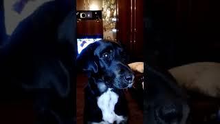 Хозяйка учит собаку лаять. Прикол Смешное видео