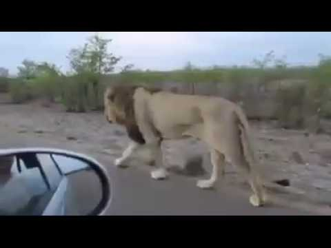 Lion attack on man in SASAN GIR