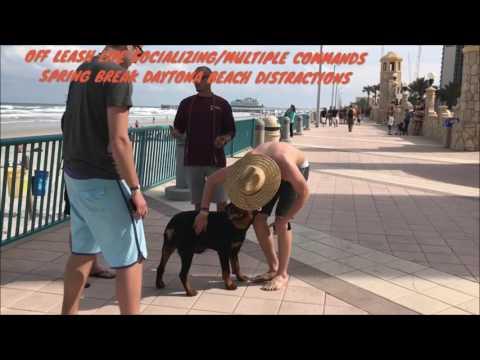 "6mo Old Rottweiler ""Diesel"" | Best Rottweiler Dog Trainers | Daytona Beach Dog Trainers"