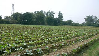 Pan shot of young cauliflower grows in the agricultural field of a farmer in India - Village Harvest