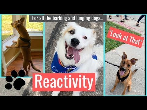 how-to-stop-your-dog-from-lunging-and-barking---reactive-dog