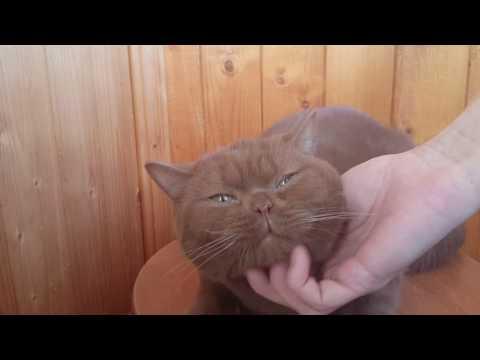 British shorthair cinnamon male Garfield. For sale.