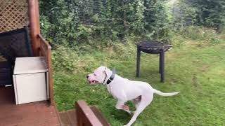 American Bulldog Ghost Compliance and protection