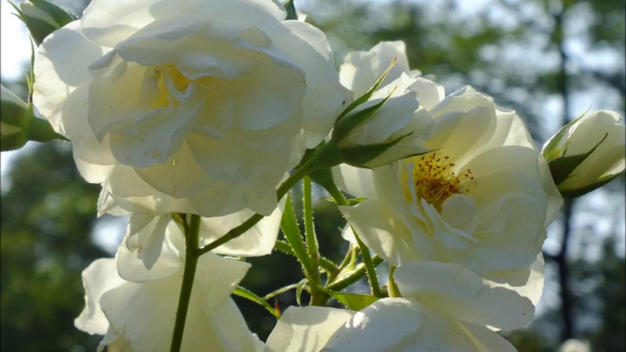 薔薇 ボレロ
