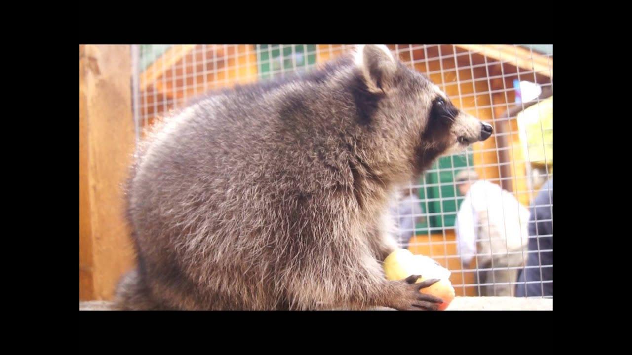 Was Fressen Waschbären : was fressen waschb ren gerne auf dem kinderbauernhof knirpsenfarm berlin youtube ~ Frokenaadalensverden.com Haus und Dekorationen