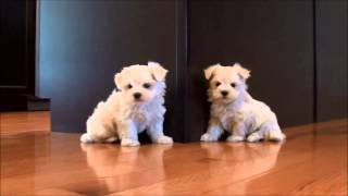 Maltese Puppies For Sale August 26, 2014