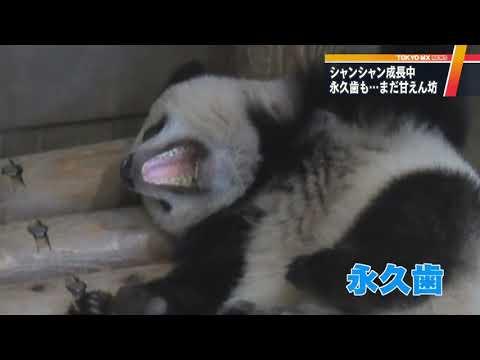 パンダのシャンシャン 永久歯が生えても甘えん坊