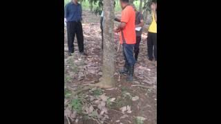 Download Cara Membuka Panel Torehan Pada Pokok Getah Yang Baru (Buka Tapak Torehan)