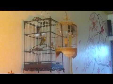 Chim Quế Lâm Hót Nhiều Giọng Cực Hay :D