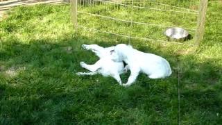 ブリーダーさんのところへみんなで仔犬をいただきに伺った時のビデオで...