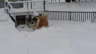 やはりセントバーナードは、雪が似合う.