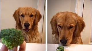ASMR Golden Retriever Dog Reviewing Different Types of Food