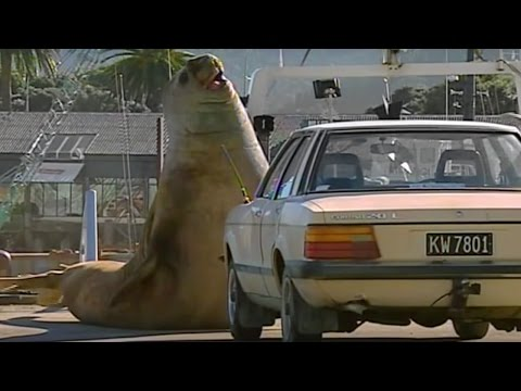 Don't Mess With A HUGE Elephant Seal - Super Giant Animals - BBC