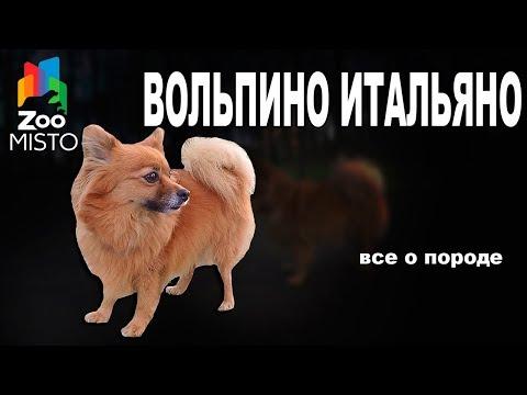 Вольпино Итальяно - Все о породе собаки | Собака породы - Вольпино Итальяно