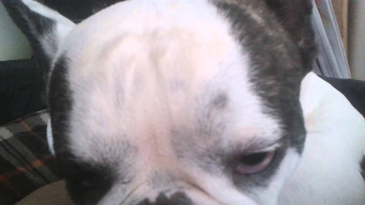 french bulldog seizures french bulldog seizure head tilt eye nystagmus youtube