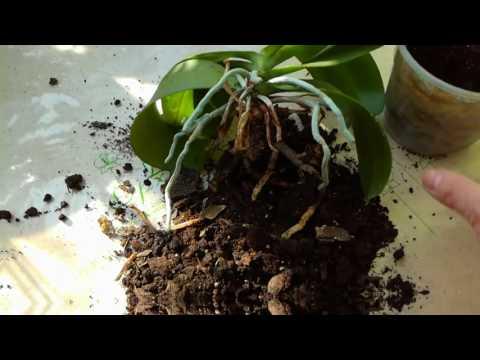 Орхидея в земле
