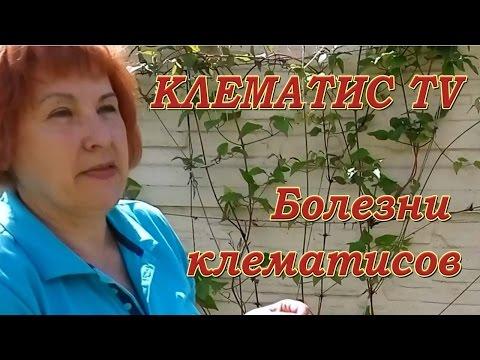 БОЛЕЗНИ КЛЕМАТИСОВ - увядание верхушки клематиса Советы от Клематис TV