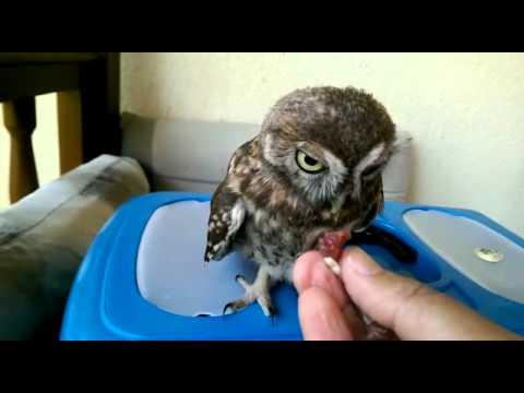Feeding injured baby owl. Yaralı bebek baykuşu besleme çabaları...