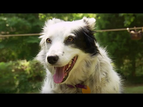 Dog Understands 1022 Words – Super Smart Animals – BBC Earth