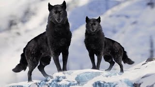 7 Most Beautiful Wolves in the World