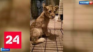 Смотреть видео В одном из гаражей в центре Москвы обнаружили львенка - Россия 24 онлайн