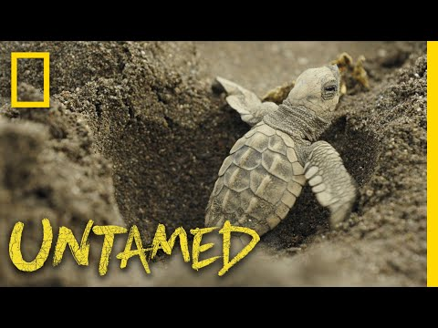 Surviving Sea Turtles | Untamed