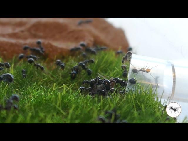 Mieren vallen krekels aan