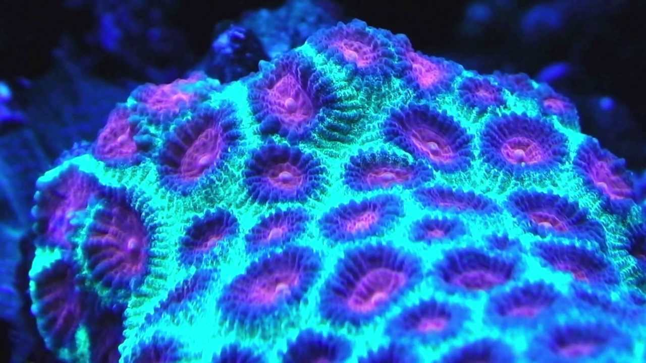 Beautifully Lighted Corals at Night in a Saltwater Tank ...