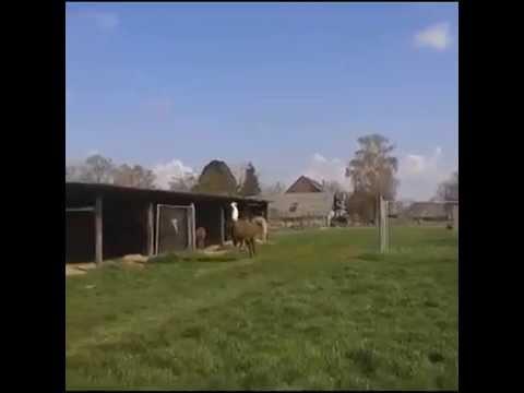Llama Frolicking To DMX Party up Hilarious!!!!