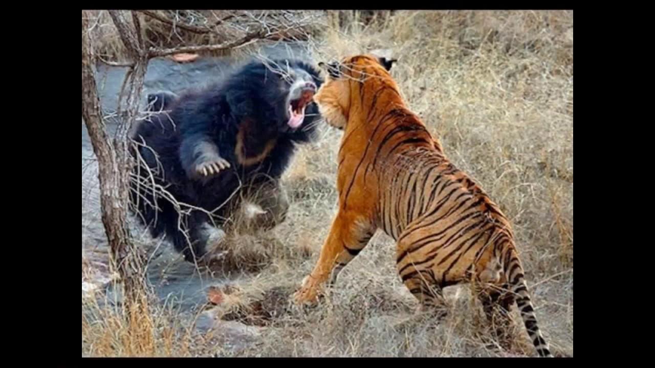 Fierce Battle Between Lion and Monkey Lion vs Monkey Fight ...