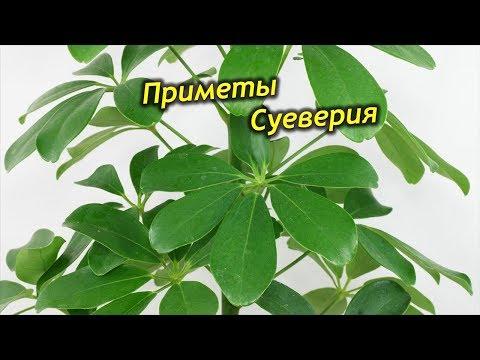Шеффлера — растение-предсказатель. Приметы и суеверия о Шеффлере в доме.