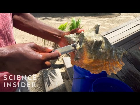 Why Conch Could Go Extinct In 10 Years