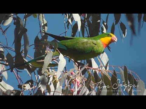 Superb parrot (Polytelis swainsonii) HD Video Clip 1/1