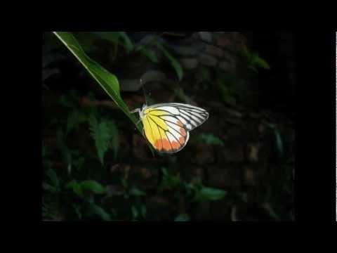 Một số hình ảnh về con bướm (Bươm bướm)